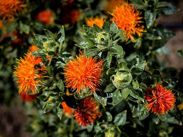 Safflower Dark Orange (Pkt)