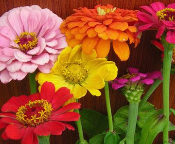 State Fair Mixed Colors Zinnia (Pkt)