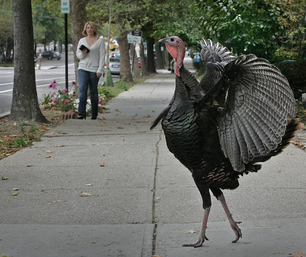 a turkey goes for a walk in town