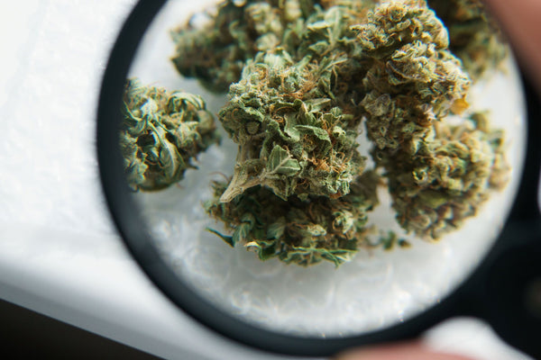 Cannabis with Magnifying Glass