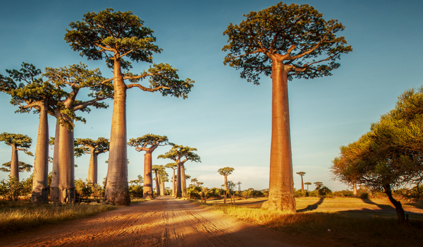 Why We Chose Baobab & Shea (Of The Hundreds Of Plants In The World)