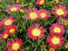 Delosperma WOW®      'Hot Pink Wonder'