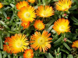 Delosperma WOW® 'Orange Wonder'