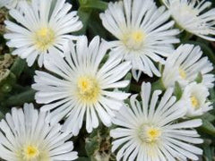 Delosperma WOW® 'White Wonder'