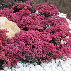 Sedum 'Dazzleberry' flowers