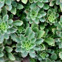 Sedum floriferum 'Winter Mahogany'®