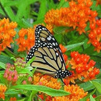 Butterfly Garden Milkweed Collection