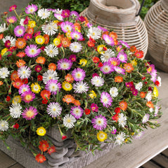 'Jewel of Desert' Delosperma Collection