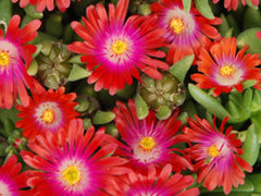 Delosperma 'Jewel of Desert Garnet'