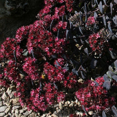 "Purple Sedum    ""Bertram Anderson'"