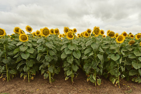 sunflower-food-plot
