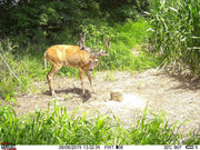 4S Draw Deer Attractant