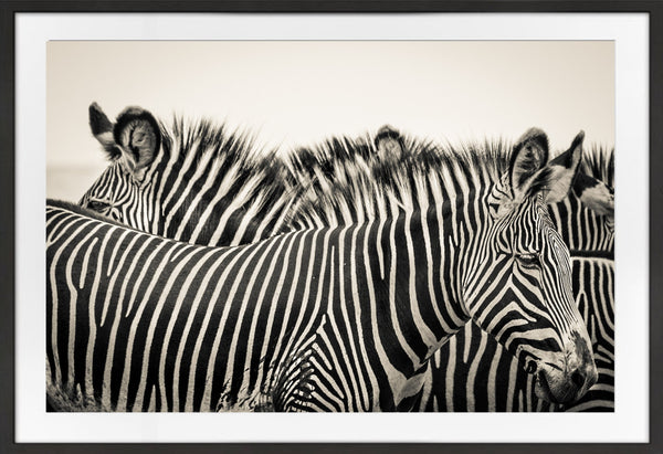 A Dazzle of Zebra Prints Prints for Conservation