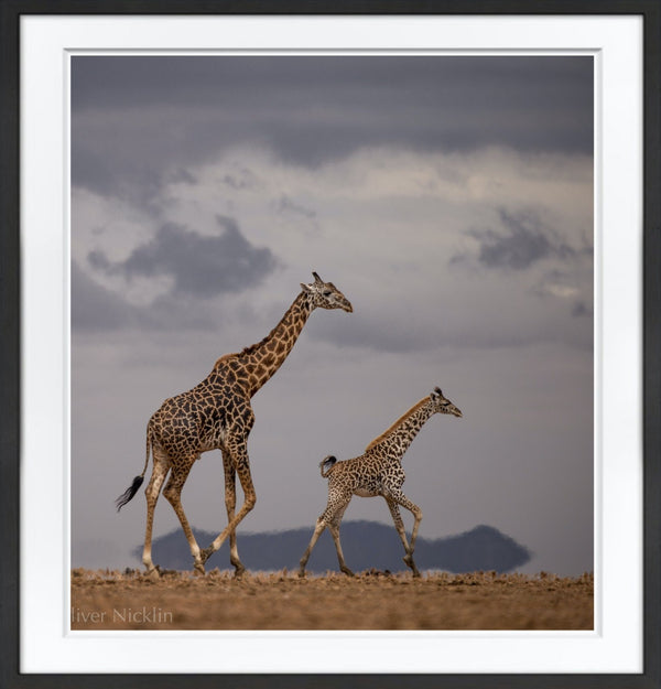 Amboseli Giraffes Prints Prints for Conservation