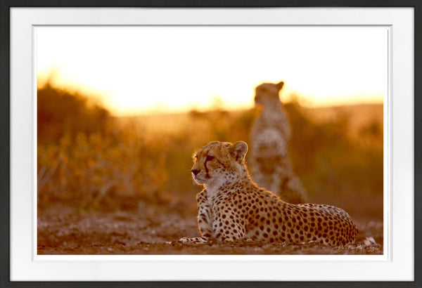 Cheetah Brothers Prints Prints for Conservation