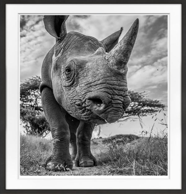 Curious Rhino Prints Prints for Conservation