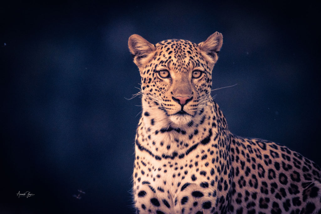 Leopard - taken in the Moremi Game Reserve, Botswana Prints Prints for Conservation