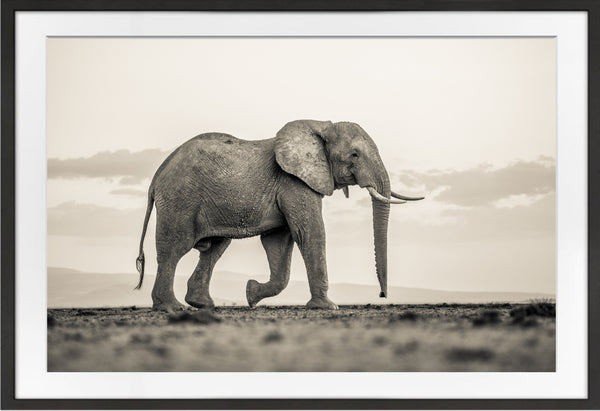 Lone Bull Prints Prints for Conservation