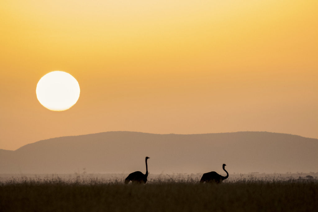 Ostrich Sunset Prints Prints for Conservation