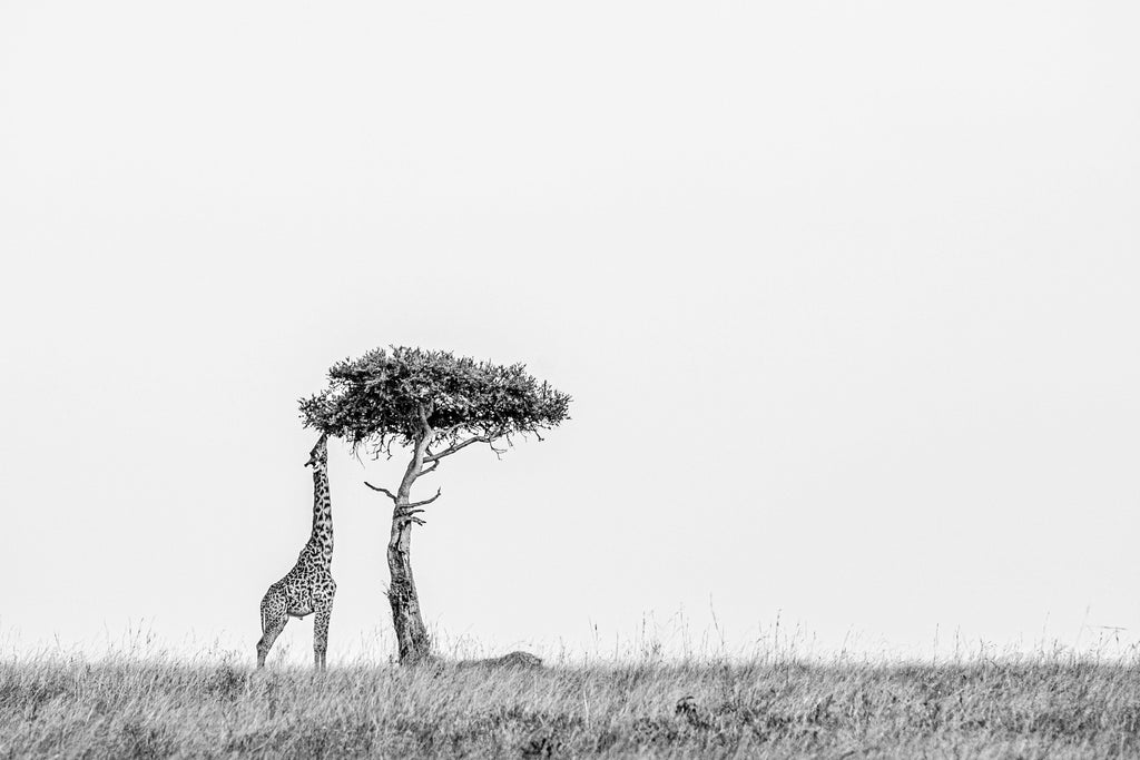 Standing Tall Prints Prints for Conservation
