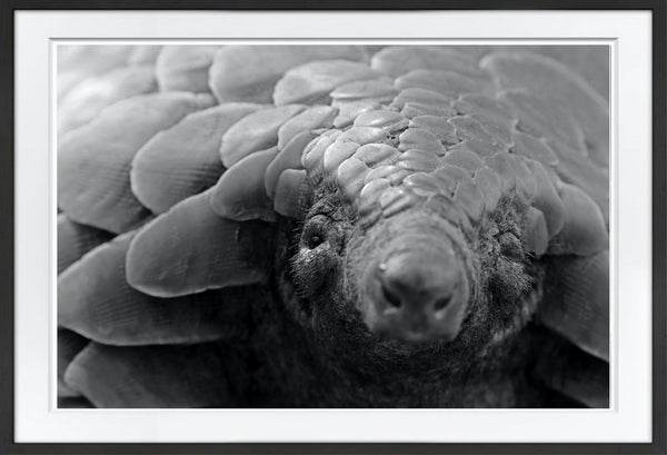 The Pangolins Stare Prints Prints for Conservation