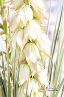 YUCCA BLOOMS