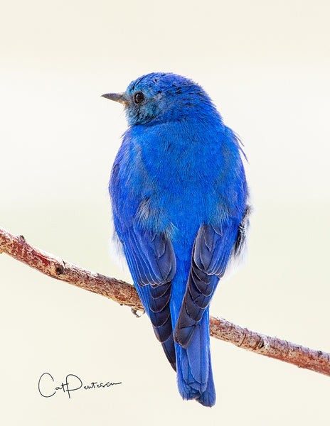 MOUNTAIN BLUEBIRD- Note Cards