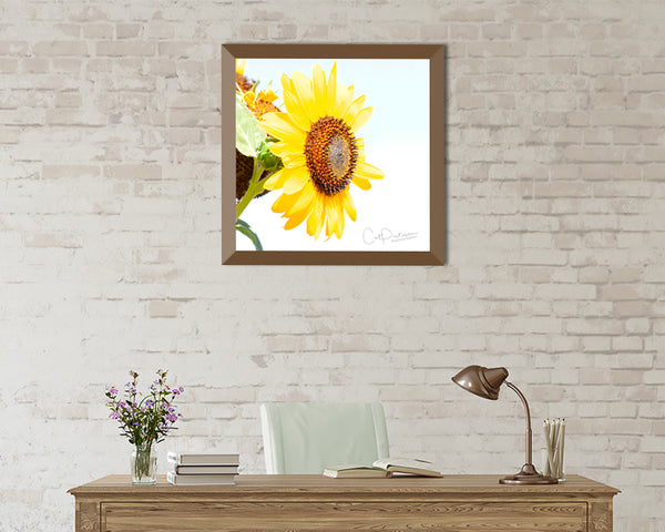 SUN DRENCHED SUNFLOWER