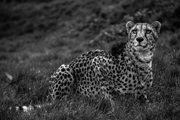 Knowing Cheetah