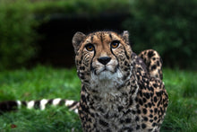 Load image into Gallery viewer, Curiosity Cheetah
