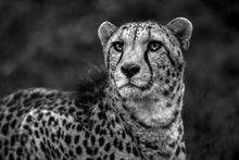 Load image into Gallery viewer, Cheetah Wisdom