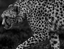 Load image into Gallery viewer, Cheetah Stalking