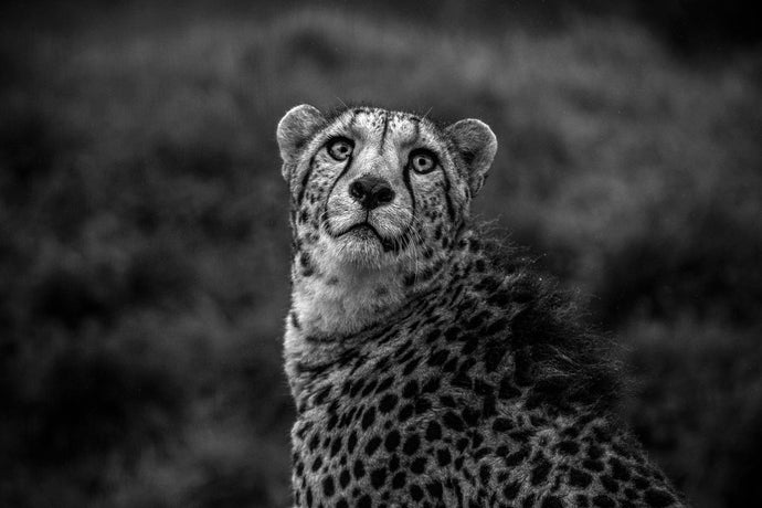 Wonder Cheetah
