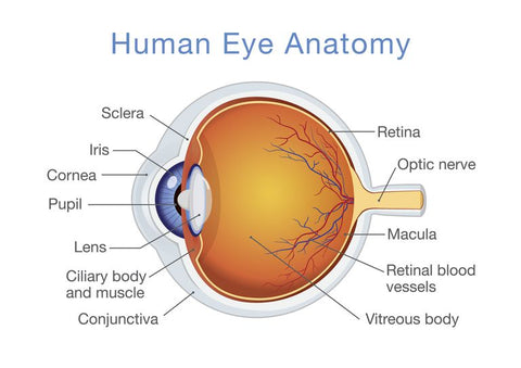 Parts Of The Human Eye and Ultraviolet Radiation