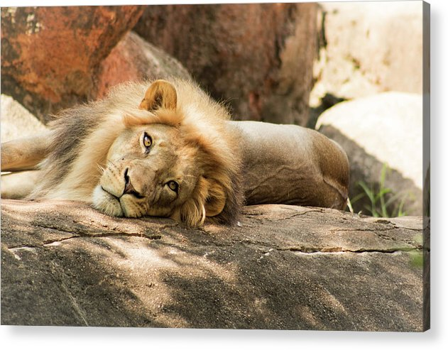 I'm Leo The Lion - Acrylic Print