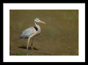 The Blue Heron - Framed Print
