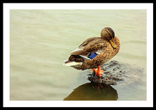Load image into Gallery viewer, The Mallard Duck - Framed Print