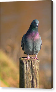 The Pigeon On The Post - Canvas Print