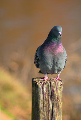 The Pigeon On The Post - Art Print