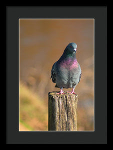 The Pigeon On The Post - Framed Print