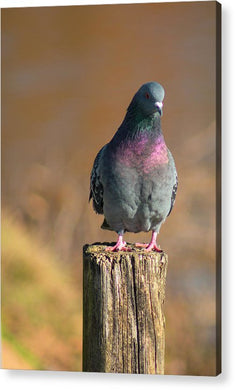 The Pigeon On The Post - Acrylic Print