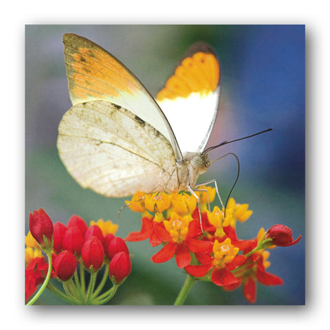 Great Orange Tip Butterfly Greetings Card from Dormouse Cards