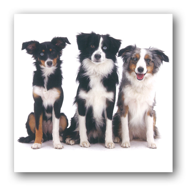 Miniature Australian Shepherd Dog Birthday Greetings Card from Dormouse Cards