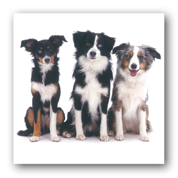 Miniature Australian Shepherd Dog Birthday Greetings Card, buy online from Dormouse Cards