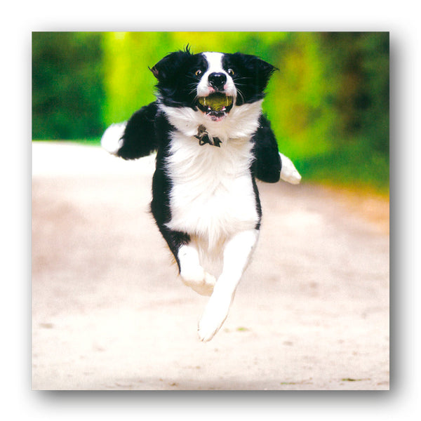 Funny Border Collie Birthday Greetings Card buy online from Dormouse Cards
