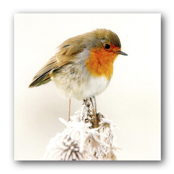 British Birds Christmas Card - Robin from Dormouse Cards