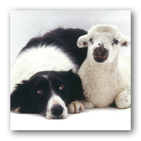 Funny Border Collie & Lamb Greeting or Birthday Card from Dormouse Cards