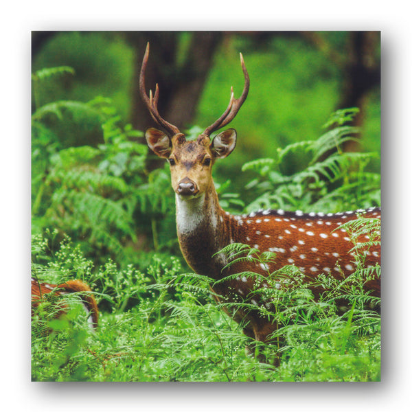 BBC earth Chital Deer Greetings Card from Dormouse Cards