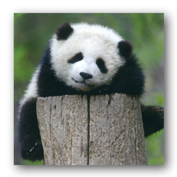 BBC earth Baby Giant Panda Greetings Card