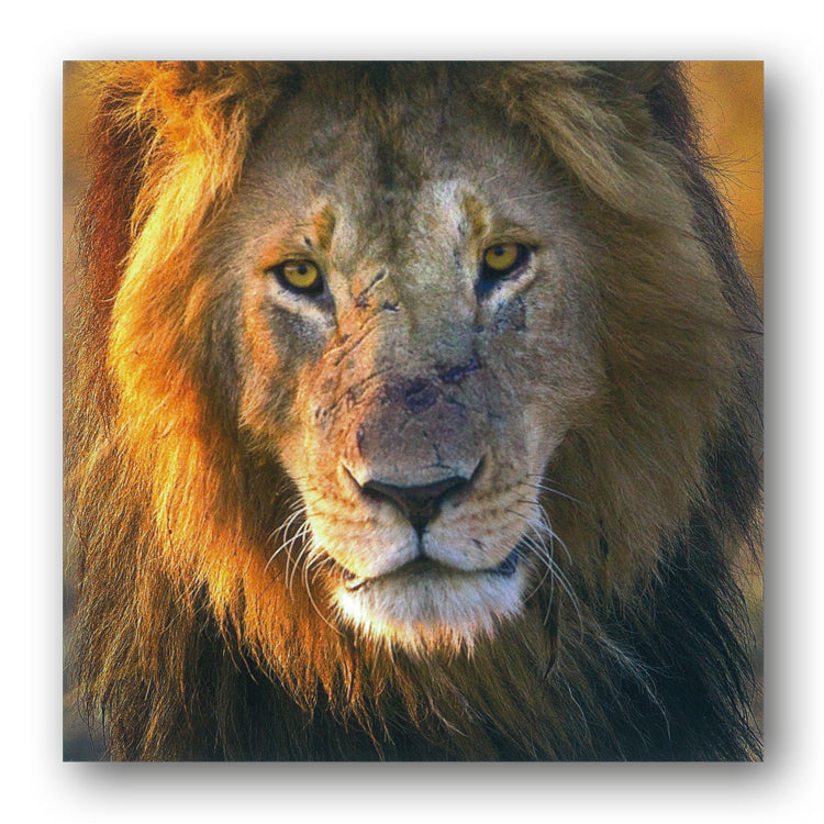 BBC earth Planet Earth II Male Lion Greetings Card